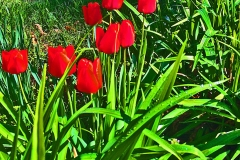 Tulips with a Twist