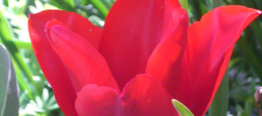 Red Tulip for PD Awareness month