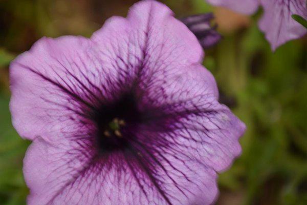Petunia small