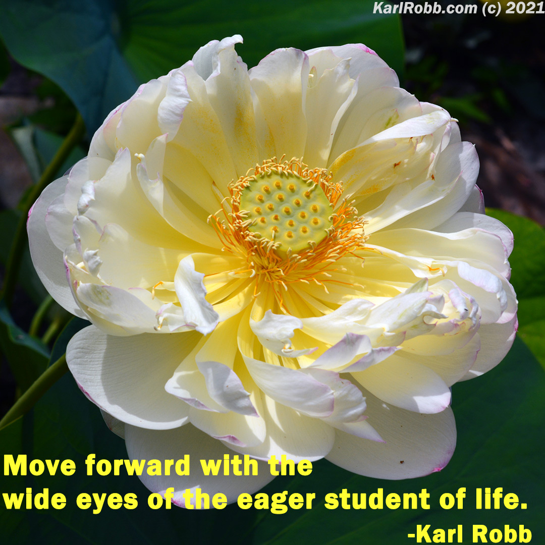 Picture of a yellow mountain rose with Move forward with the wide eyes of the eager student of life by Karl Robb